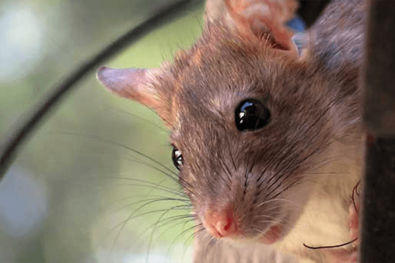 Roof Rats: How to Avoid an Invasion